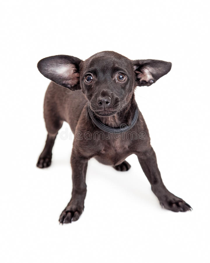 Chihuahua Mixed Breed Dog with Black Coat stock images