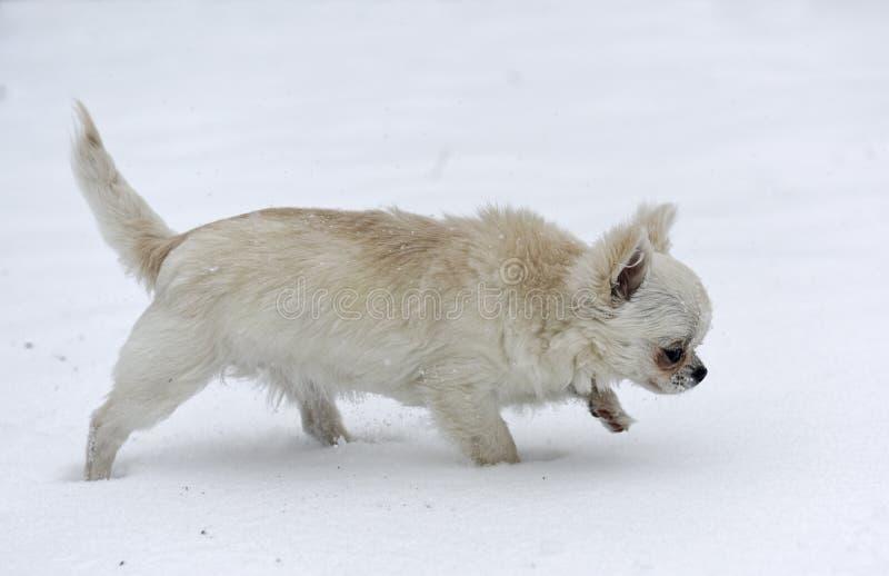 Chihuahua na neve imagem de stock royalty free