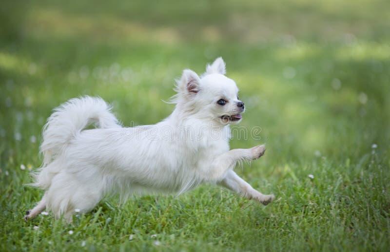 Chihuahua in natura immagini stock libere da diritti
