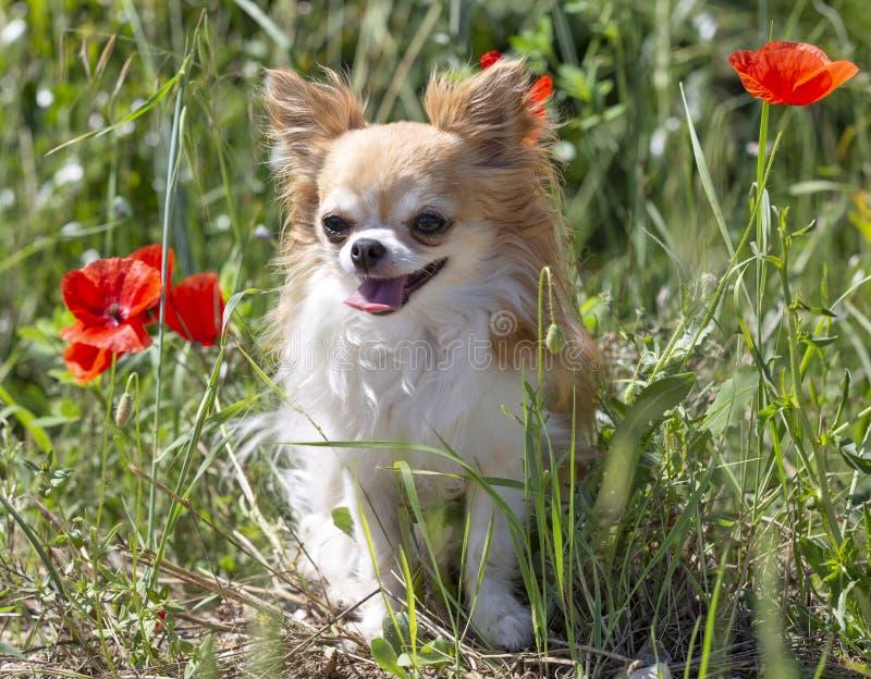 Chihuahua in natura fotografia stock libera da diritti