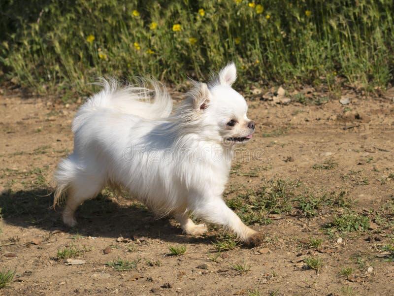 Chihuahua in natura immagini stock
