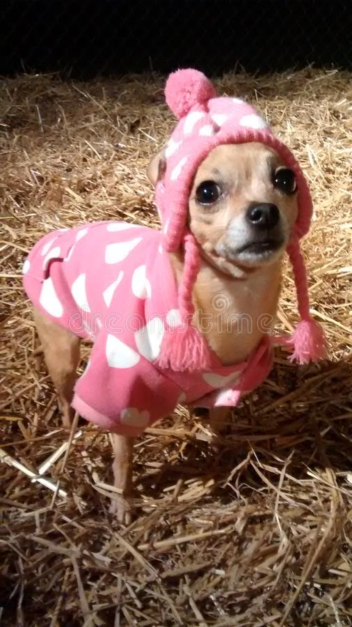 Chihuahua nel rosa fotografie stock