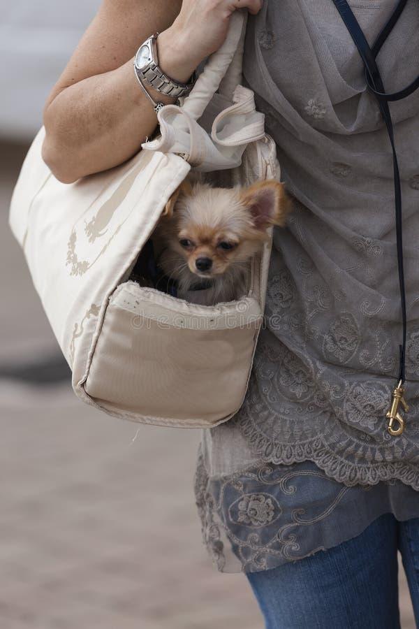 Chihuahua nella borsa fotografie stock