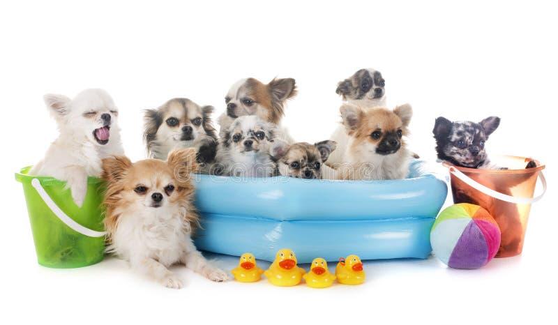 Chihuahua nelle feste immagini stock