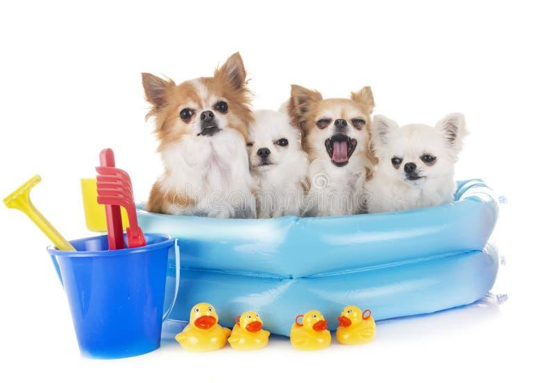Chihuahua nelle feste immagine stock