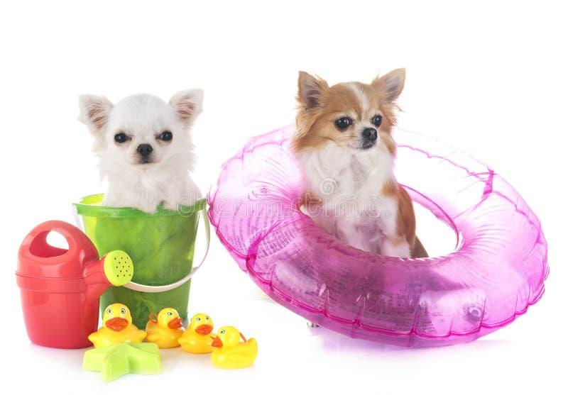 Chihuahua nelle feste fotografia stock libera da diritti