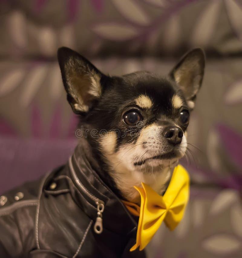 Chihuahua nera sveglia che indossa cravatta a farfalla gialla fotografie stock