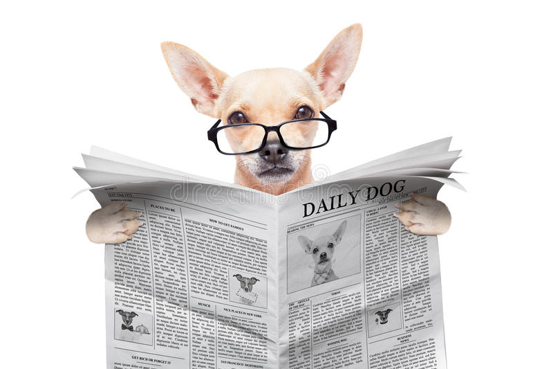 Chihuahua newspaper dog. Chihuahua dog reading the news on a magazine or newspaper , isolated on white background stock image