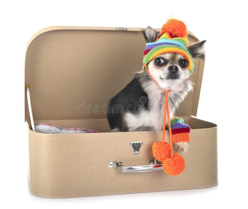 Chihuahua no estúdio fotos de stock