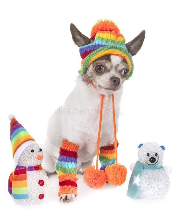 Chihuahua no estúdio foto de stock royalty free