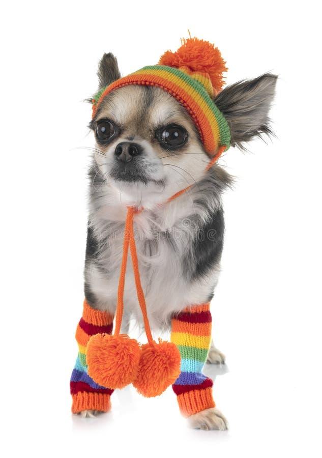 Chihuahua no estúdio fotografia de stock