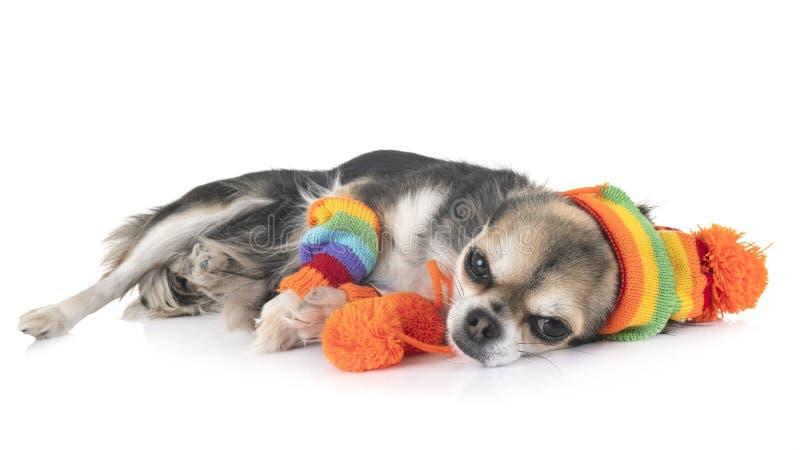Chihuahua no estúdio imagens de stock royalty free