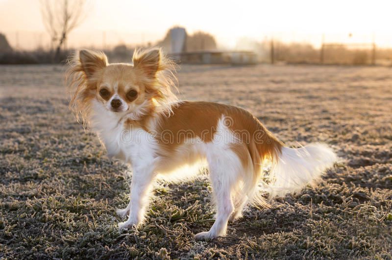 Chihuahua no inverno imagens de stock royalty free