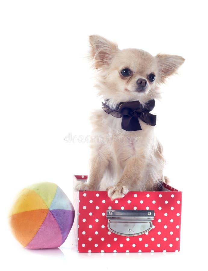 Chihuahua no ofício fotografia de stock