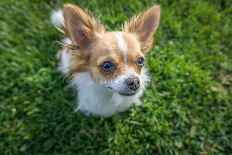 Chihuahua no parque imagens de stock