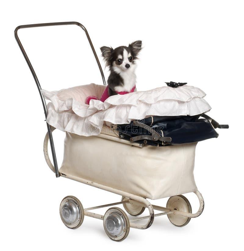 Chihuahua, o 1 anos de idade, no carrinho de criança de bebê foto de stock royalty free