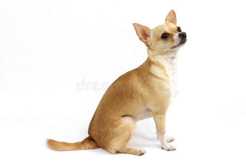 Chihuahua obsiadanie na białym tle obraz royalty free