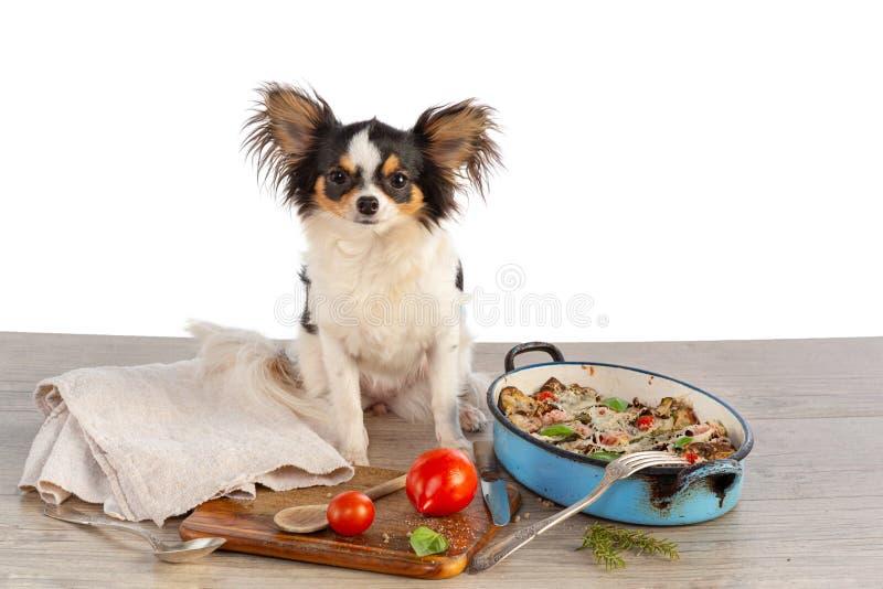 Chihuahua och gratin av grönsaker royaltyfria bilder