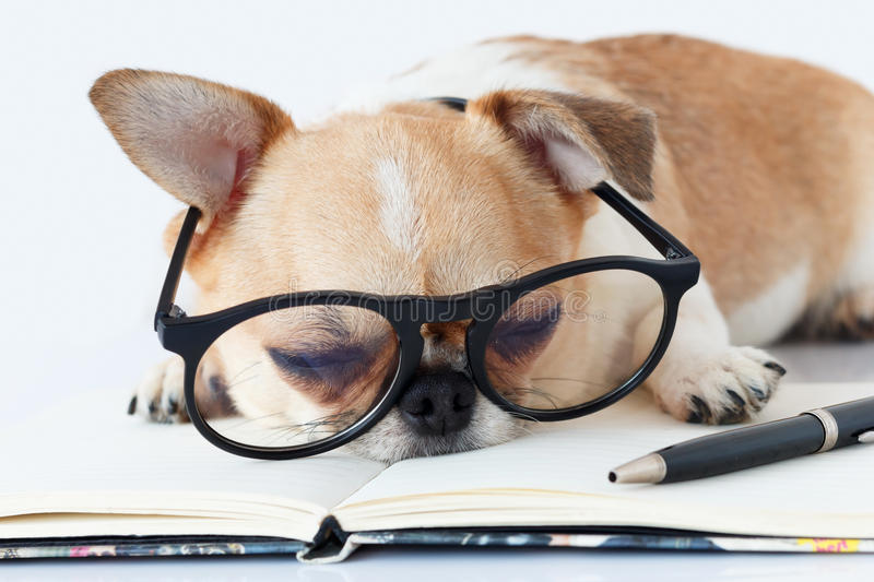 Chihuahua Officer dog. In eyeglasses with a note pad and pen sleeping at work royalty free stock images