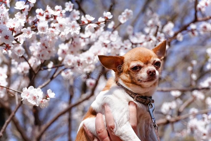 Chihuahua otaczaj?cy kwitn?? Sakura Uroczy ma?y pies na kwiatu tle zdjęcie stock