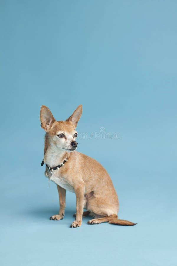 Chihuahua på blått fotografering för bildbyråer