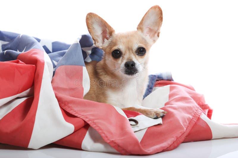 Chihuahua patriótica fotografia de stock royalty free