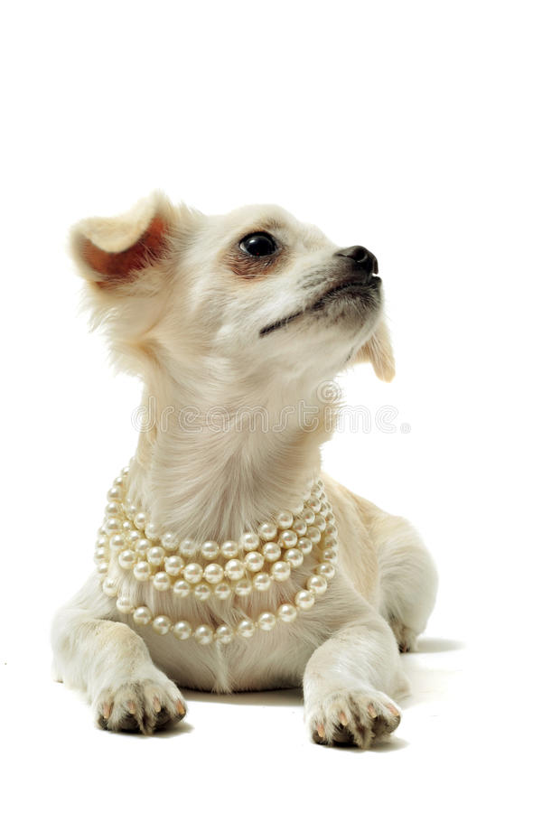 Chihuahua with pearl collar. Portrait of a cute purebred chihuahua with pearl collar in front of white background royalty free stock images