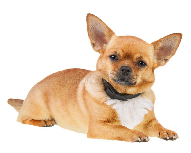 Chihuahua pies w Antym pchła kołnierzu Odizolowywającym na Białym tle fotografia stock
