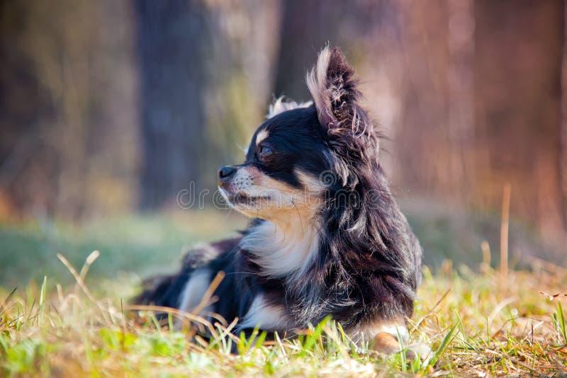 Chihuahua pies w parku zdjęcie royalty free