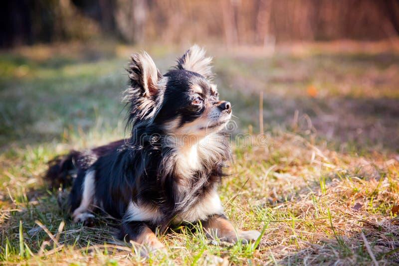 Chihuahua pies w parku fotografia royalty free