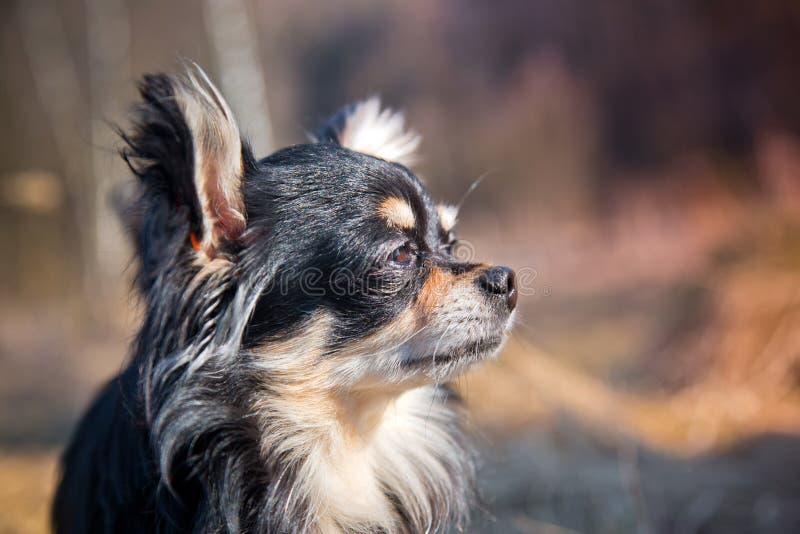 Chihuahua pies w parku zdjęcie stock