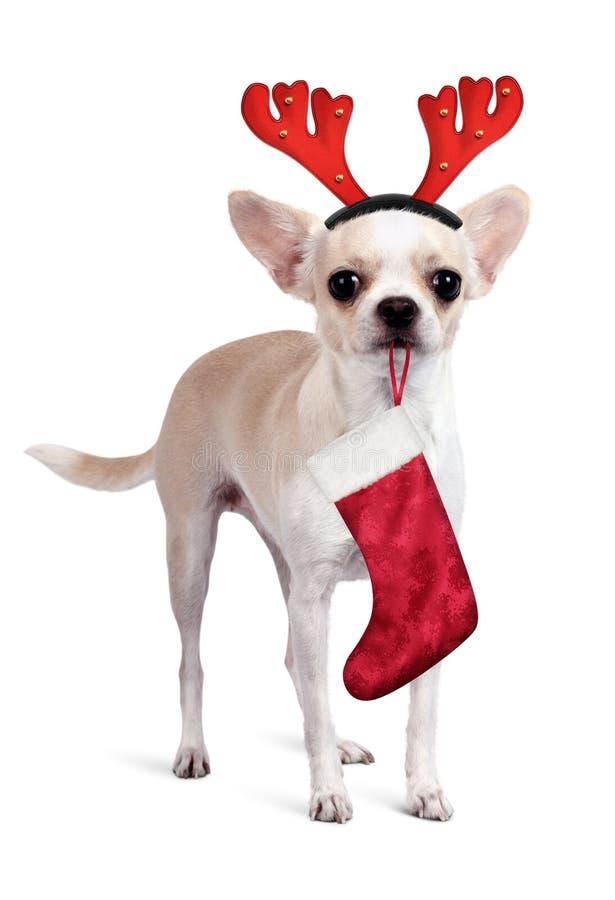 Chihuahua pies z boże narodzenie prezenta rogaczem i skarpetą uzbrajać w rogi na bielu obraz royalty free
