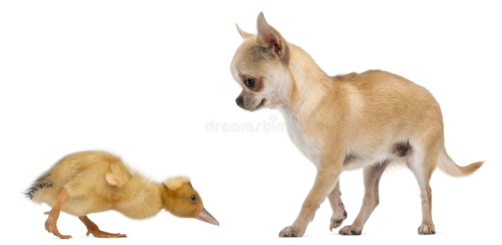 Chihuahua playing with a domestic duckling. In front of white background stock photos