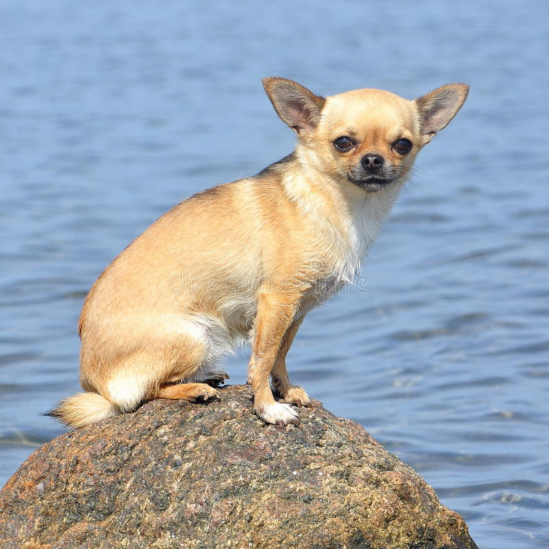 Chihuahuas portrait royalty free stock photography