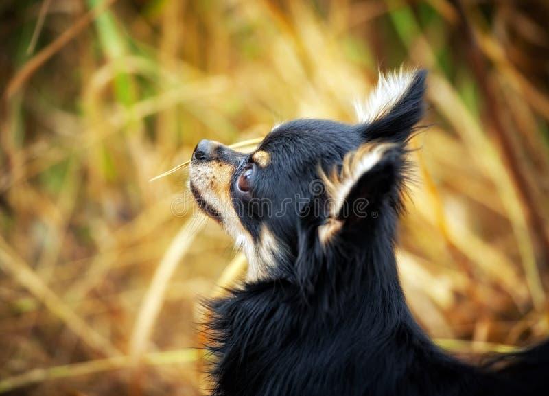 chihuahua portret psi plenerowy fotografia royalty free