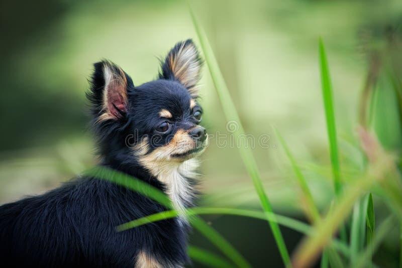chihuahua portret psi plenerowy zdjęcie royalty free