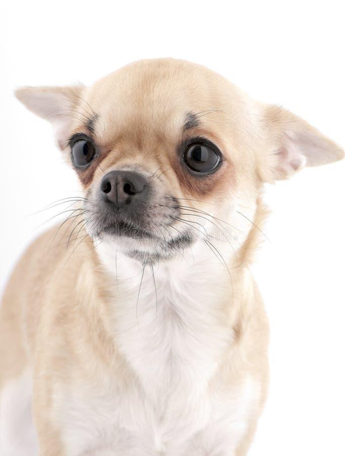 chihuahua portret zaskakiwał fotografia stock