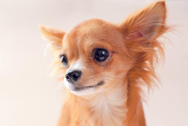 chihuahua portreta ładna szczeniaka czerwień fotografia royalty free