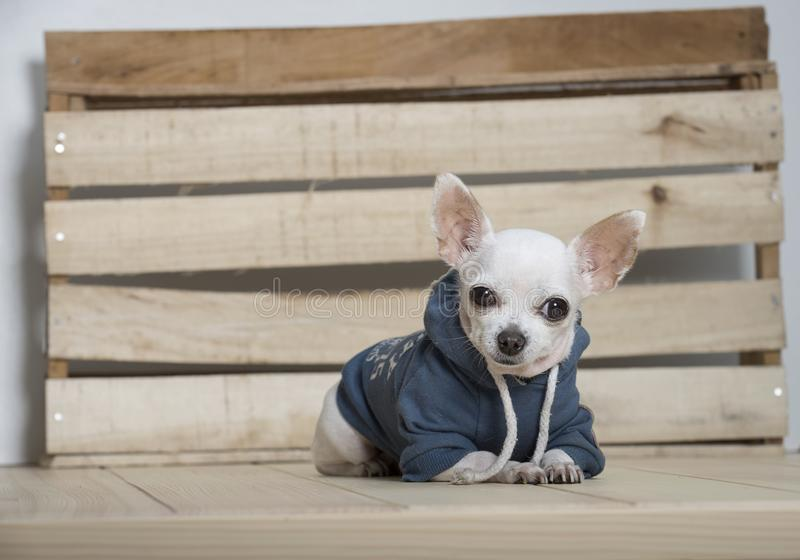 Chihuahua psa traken fotografia royalty free