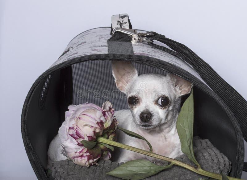 Chihuahua psa traken w budka z peonią i fotografia stock