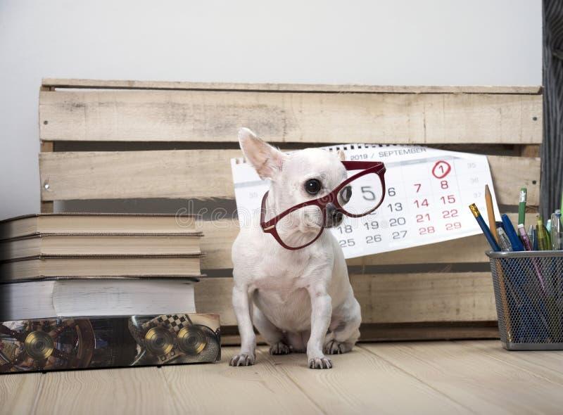 Chihuahua psa traken w szkłach wśród książek z ściennym kalendarzem i, fotografia royalty free