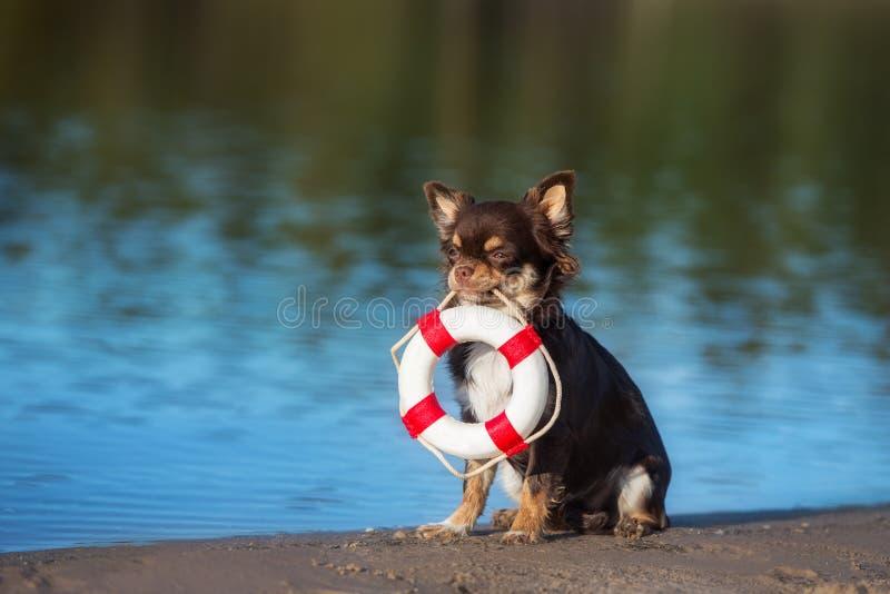 Chihuahua psi mienie życia boja obraz stock