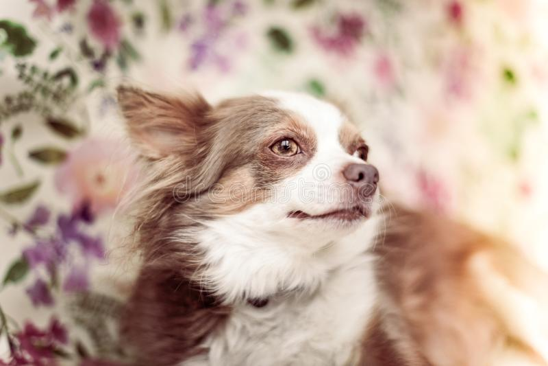 Chihuahua psi portret z kwiatu tłem fotografia stock