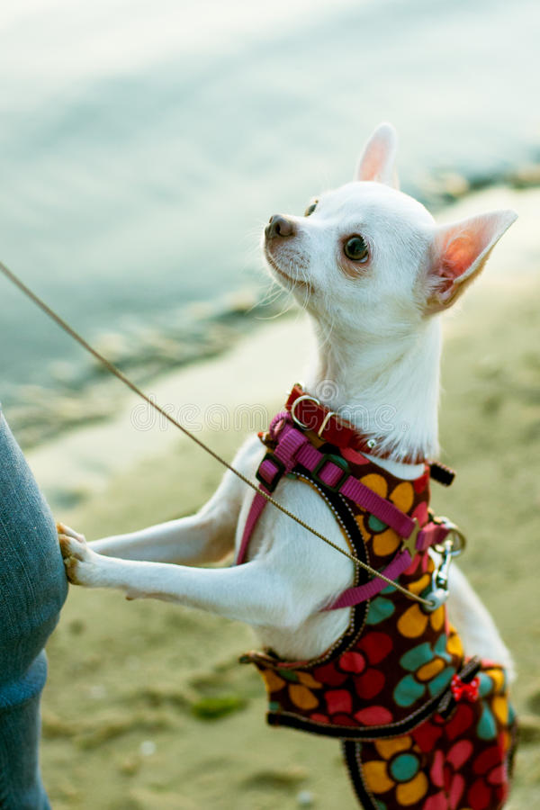 Chihuahua psia pozycja na swój tylnych nogach zdjęcia royalty free