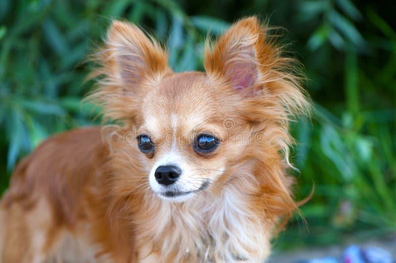 chihuahua psia wspaniała portreta czerwień obrazy royalty free