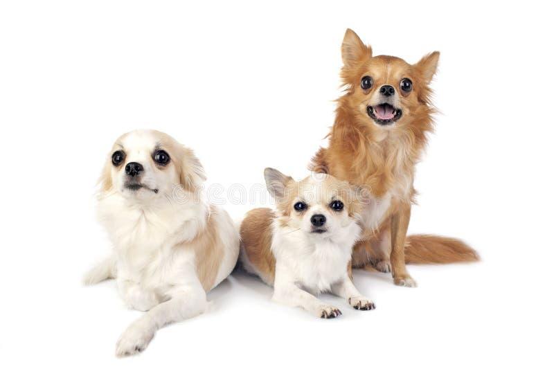 chihuahua psy uwalniają pozycje trzy zdjęcia stock