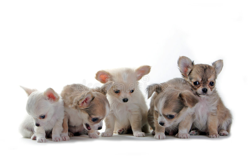 Chihuahua puppies. In a row isolated on white