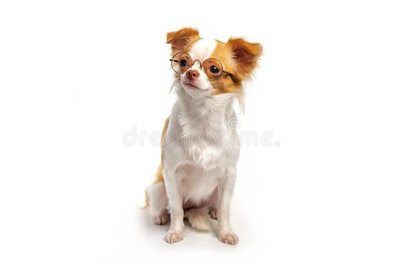 Chihuahua puppies that are brown royalty free stock images
