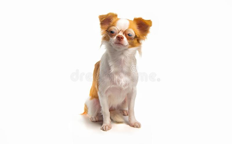 Chihuahua puppies with brown stock photos