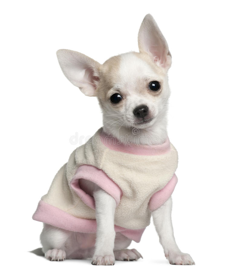 Chihuahua puppy, 11 weeks old, sitting royalty free stock photography